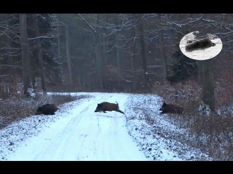 Wild Boar Driven Hunt In Winter Chasse En Battue Au Sanglier En Hiver