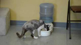 Devon Rex playing with water