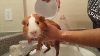 Guinea Pig Bath Time