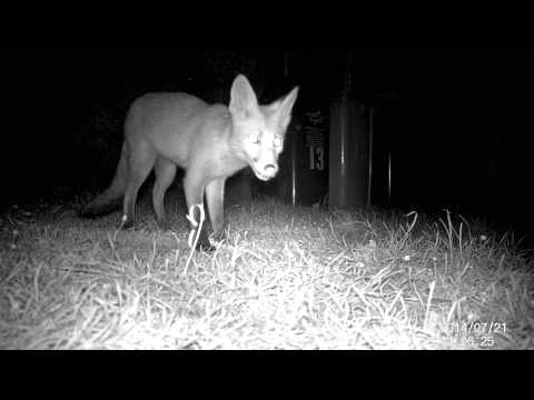 Mr. Fox visits our garden for his next Roast - Lamb 21/07/2014 (Part II)