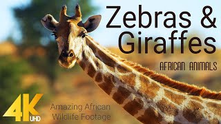 4K African Animals - Zebras and Giraffes - Amazing African Wildlife Footage - Kalahari Desert
