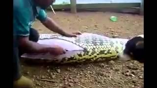 A Huge Snake Caught, Thought To Have SWALLOWED A HUMAN!