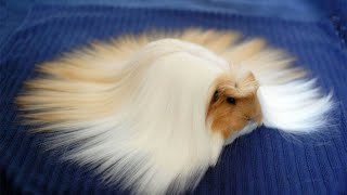 ♥️ Funny and Cute GUINEA PIGS Video Compilation ♥️ | The Best Guinea Pig Video