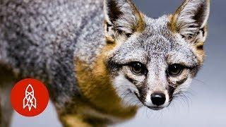 The Tiny Fox Making A Bold Comeback