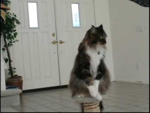 Maine Coon Tricks - Shaking Hands Video
