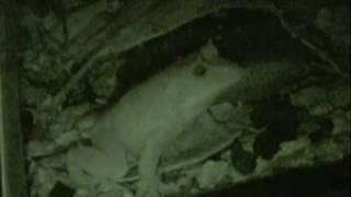 Solomon Island Leaf Frog Calling