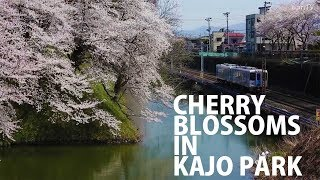 Cherry blossoms in Tohoku: Kaj? Park