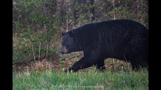 Huge Black Bear in Eastern NC