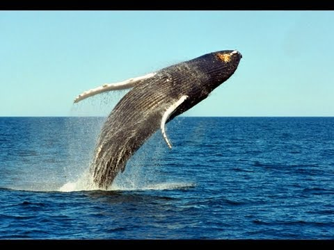 Whales jumping out of water next to surfer - photo#24