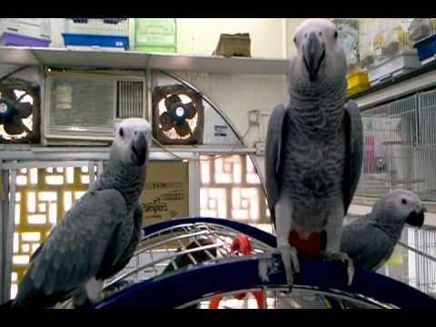 A Visit to the Bird and Animal Market in Sharjah City, Emirate of Sharjah, United Arab Emirates. 4 August 2011. Video by: Dr.Sc. Norman Ali Bassam Khalaf-von...