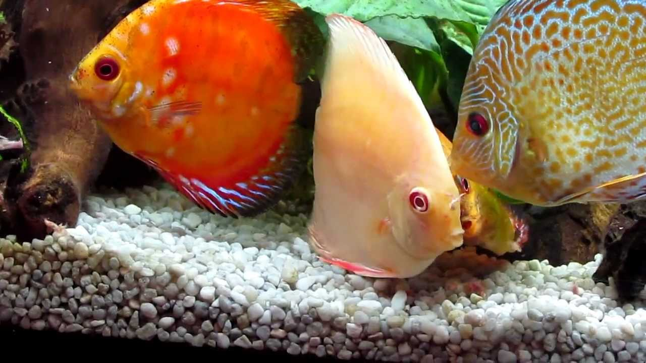 Discus fish eating discus fish eating from my hand for Fish eat fish