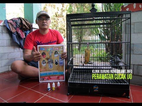 Klinik Burung Ronggolawe : Perawatan Cucak Ijo video