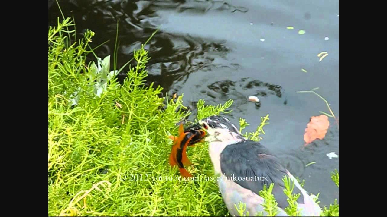 how to catch herbivore fish