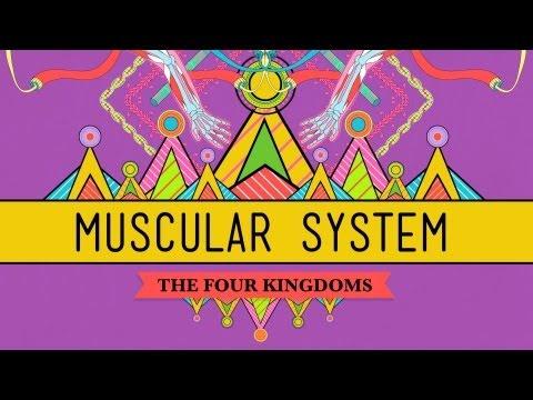Big Guns: The Muscular System - CrashCourse Biology #31