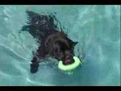 Newfoundland Dog Swimming Underwater