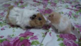 guinea pig hamsters and encountered for the first time :).& hamster ve ginepig ilk defa karşılaştı:)