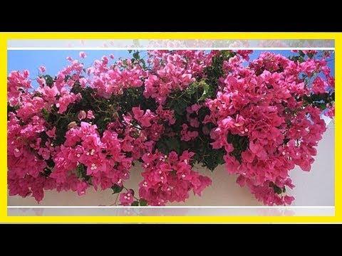 Bougainvillea überwintern: So kommt die Pflanze gut über den Winter