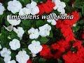 Bunga Impatiens, Gampang tumbuh asal ada air