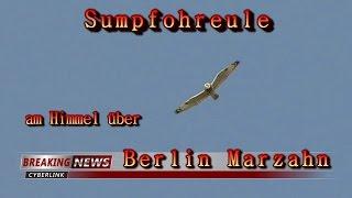 Sumpfohreule ( Asio flammeus ) - Strigidae über Berlin Marzahn - Panasonic DMC - TZ 61