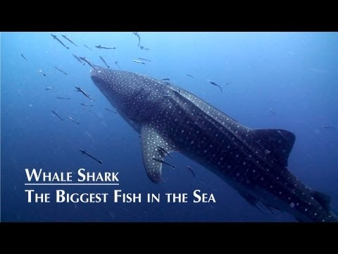 The Biggest Fish in The Sea, Whale Shark HD  Koh Tao Thailand.