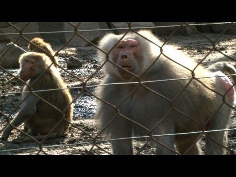Monos toman control de su jaula
