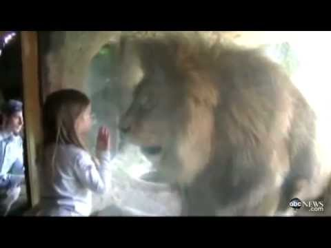 Little Girl Stares Down Lion At New Zealand Zoo   Abc News video