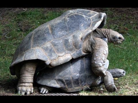 Giant Tortoise Coitus
