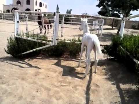Foal Jumping With Mother Foal Jumps Arena Fencing