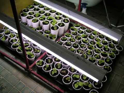 How To Germinate And Start Tobacco Seeds!