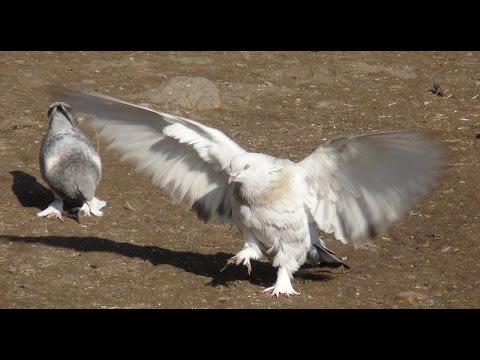 Güvercin Meraklıları Festivale Hazırlaniyor Cenk Kınsun Kafkas Haber Ajansı Www Kha Com Tr Kha