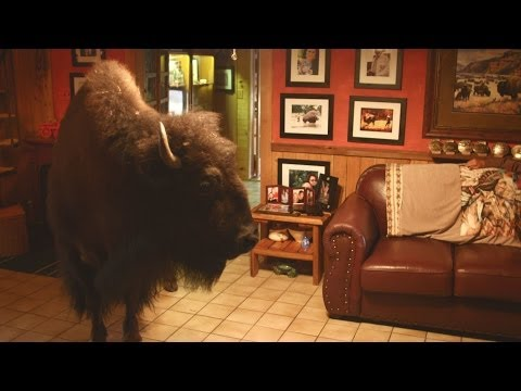 Buffalo in the house - Animal Odd Couples: Episode 2 Preview - BBC One
