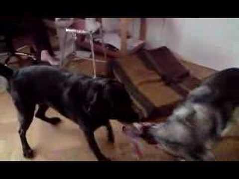 Siberian Husky/Alaskan Malamute vs Boxer/Labrador 3.48 min.