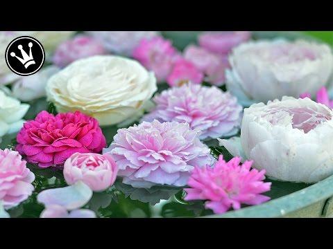 How to: Rosen im Juni-August durch Stecklinge vermehren/selber ziehen