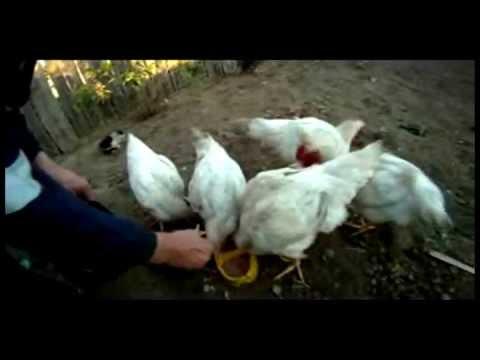 Kokoшката кючек 2012 Кокошка