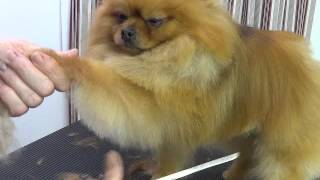 Pet Grooming for a Pomeranian starring Baa Baa