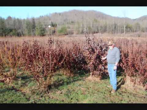 Video  on a Great Ornamental trees...Blue  Atlas Cedars  Trees we sell