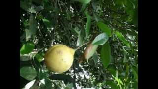Herbal Medicine - Myristica Fragrans - Natural Remedy For Abdominal