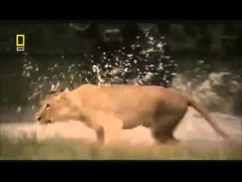 Animal Attack Elephant Vs  Male Lions Fight Top Ten10attack video
