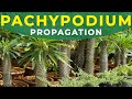 Frame from Pachypodium propagation