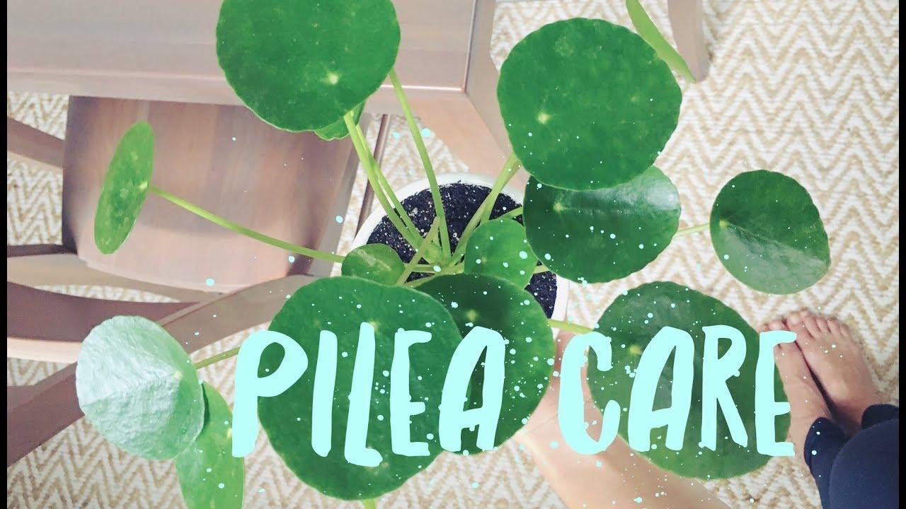 Pilea peperomioides care