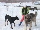 Sarplaninac i vuk wolf and dog