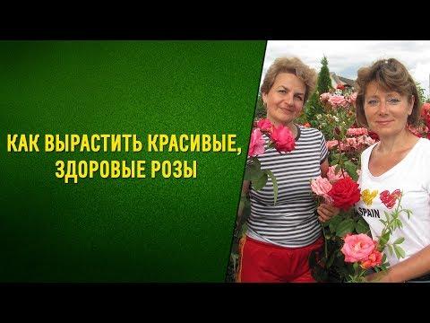 Советы профессионала - как вырастить красивые, здоровые розы. Натуральный стимулятор для роз