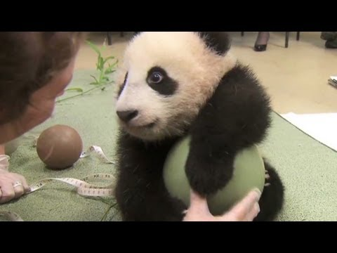 Distraction: Baby panda loves ball