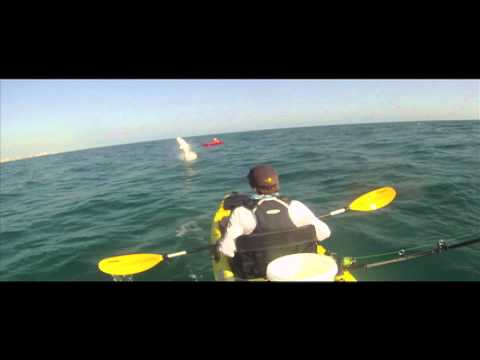Shark leaps and spins 1800 degrees nearly landing in kayak!