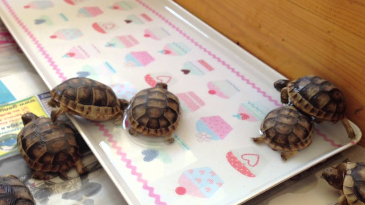 Marginated Baby Tortoises Baby Marginated Tortoises