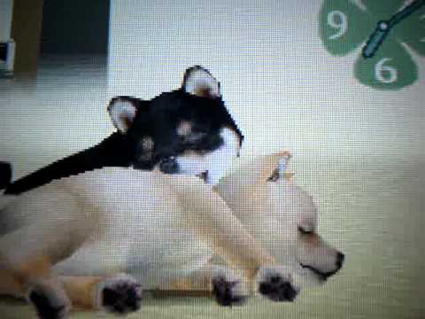 How To Get Your Dogs To Breed On Nintendogs
