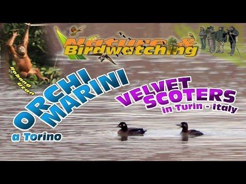 Orchi marini a Torino - Velvet Scoter in Turin 20-01-2014