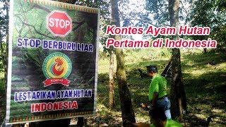 Kontes Unik Ayam Hutan Pertama di Indonesia