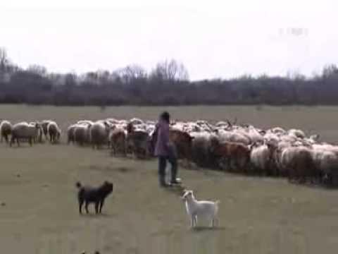 Рацка овца - 5казање 10-09-2010.