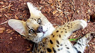 Playing With Cute Serval Kittens
